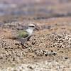 Queltehue de la puna | Vanellus resplendens | Andean Lapwing