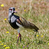 Queltehue común |  Vanellus chilensis  |  Southern Lapwing