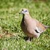 Paloma de alas blancas |  Zenaida meloda  |  West Peruvian Dove