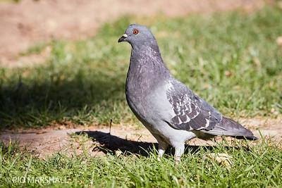 Paloma doméstica  |  Columba livia (Feral Pigeon)  |  Rock Pigeon