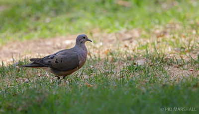 Tórtola    Zenaida auriculata     Eared Dove