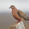 Tórtola |  Zenaida auriculata  |  Eared Dove