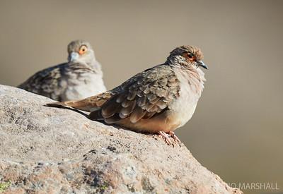 Tortolita boliviana |  Metriopelia ceciliae  |  Bare-faced Ground Dove