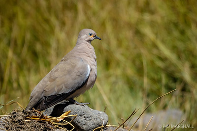 Tortolita cordillerana    Metriopelia melanoptera     Black-winged Ground Dove