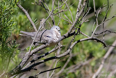 Tortolita cuyana |  Columbina picui  |  Picui Ground Dove
