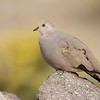 Tortolita de la puna | Metriopelia aymara | Golden-spotted Ground Dove