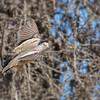 Tortolita quiguagua | Columbina cruziana | Croaking Ground Dove
