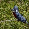 Martín pescador | Megaceryle torquata | Ringed Kingfisher