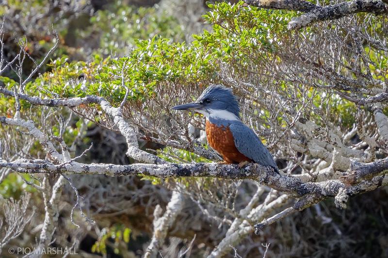 Martín pescador     Megaceryle torquata stellata     Ringed Kingfisher