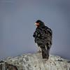 Carancho cordillerano |  Phalcoboenus megalopterus  |  Mountain Caracara