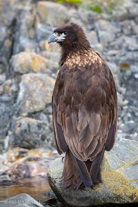 Carancho negro |  Phalcoboenus australis  |  Striated Caracara