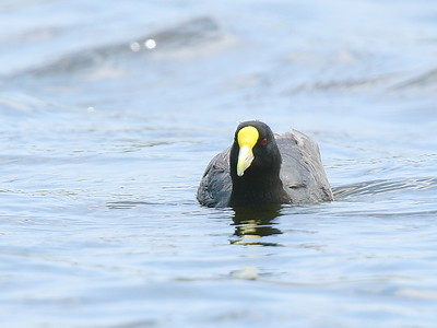 Tagua chica    Fulica leucoptera     White-winged Coot