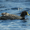 Tagua chica | Fulica leucoptera | White-winged Coot