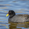 Tagua de frente roja |  Fulica rufifrons  |  Red-fronted Coot
