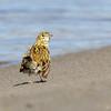 Bailarín chico común    Anthus correndera     Correndera Pipit
