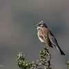Chincol | Zonotrichia capensis | Rufous-collared Sparrow
