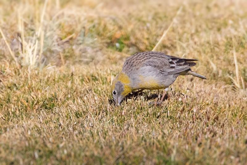 Chirihue cordillerano | Sicalis uropygialis | Bright-rumped Yellow-Finch