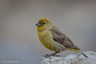 Chirihue dorado |  Sicalis auriventris  |  Greater Yellow-Finch