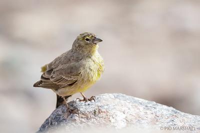 Chirihue verdoso |  Sicalis olivascens  |  Greenish Yellow-Finch