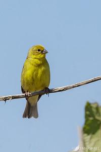 Chirihue común |  Sicalis luteola  |  Grassland Yellow-Finch
