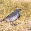 Cometocino de Arica | Phrygilus erythronotus | White-throated sierra finch