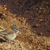 Cometocino de dorso castaño   Phrygilus dorsalis   Red-backed sierra finch