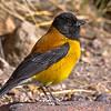Cometocino del norte | Phrygilus atriceps | Black-hooded Sierra Finch