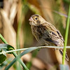 Corbatita del norte |  Sporophila telasco  |  Chestnut-throated Seedeater