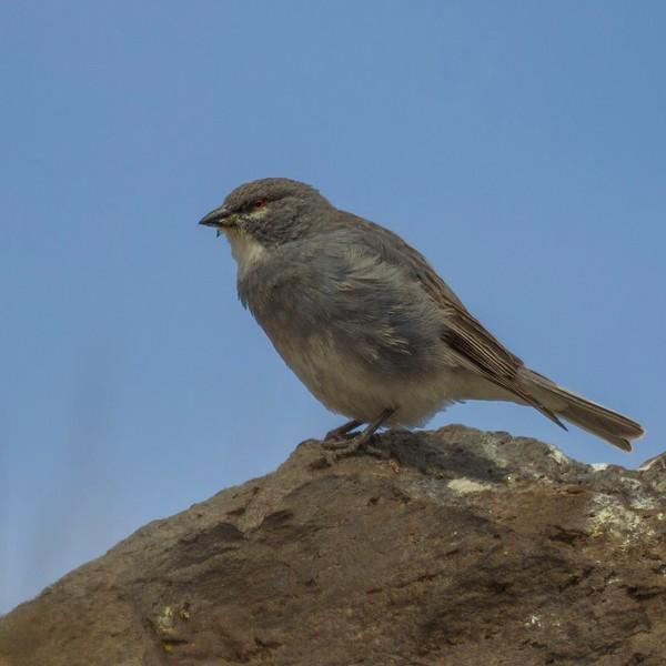 Diuca de alas blancas | Idiopsar speculifer | White-winged diuca finch