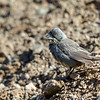 Diuca común |  Diuca diuca  |  Common Diuca-Finch