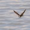 Golondrina barranquera | Riparia riparia | Bank Swallow