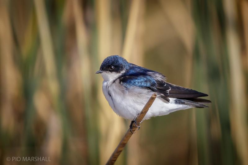 Golondrina chilena |  Tachycineta leucopyga  |  Chilean Swallow