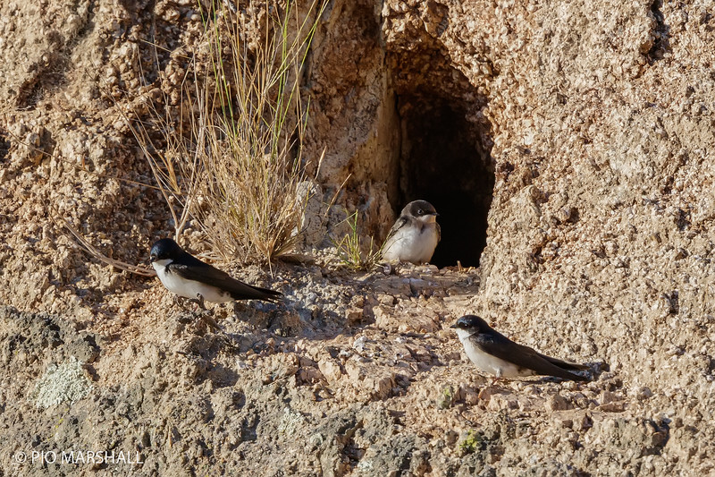 Golondrina de dorso negro |  Pygochelidon cyanoleuca  |  Blue-and-white Swallow