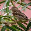 Gorrión | Passer domesticus | House Sparrow
