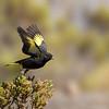 Jilguero negro | Spinus atratus | Black Siskin
