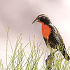 Loica peruana | Sturnella bellicosa | Peruvian Meadowlark