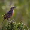 Loica común |  Leistes loyca  |  Long-tailed Meadowlark