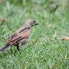 Mirlo de pico corto |  Molothrus rufoaxillaris  |  Screaming Cowbird