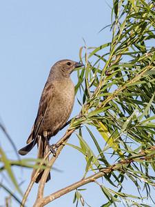 Mirlo común    Molothrus bonariensis     Shiny Cowbird