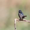 Negrillo | Volatinia jacarina | Blue-black Grassquit