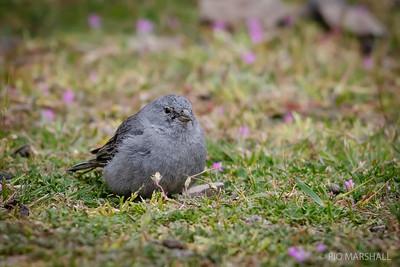 Pájaro plomo    Geospizopsis unicolor     Plumbeous Sierra Finch