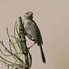 Pizarrita | Xenospingus concolor | Slender-billed Finch