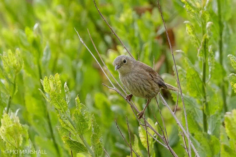 Pizarrita    Xenospingus concolor     Slender-billed Finch