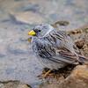 Platero |  Porphyrospiza alaudina  |  Band-tailed Sierra Finch