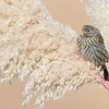 Semillero | Catamenia analis | Band-tailed Seedeater