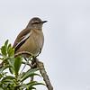 Tenca de alas blancas |  Mimus triurus  |  White-banded Mockingbird