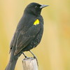 Trile | Agelasticus thilius | Yellow-winged Blackbird