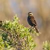 Trile | Agelasticus thilius | Yellow-winged Blackbird