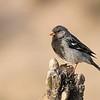 Yal común   Phrygilus fruticeti   Mourning Sierra Finch