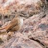 Bandurrilla de pico recto | Ochetorhynchus ruficaudus | Straight-billed Earthcreeper